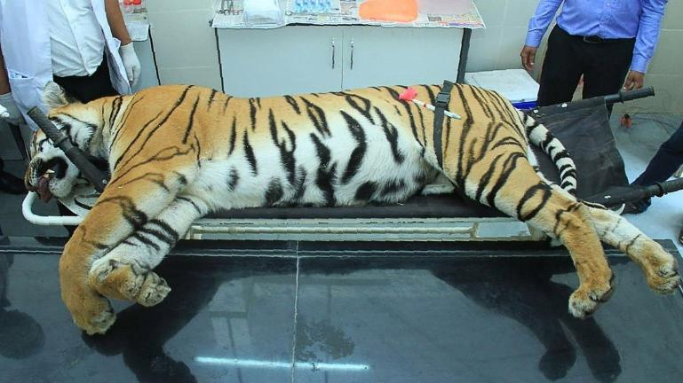 A photo showing the dead body of Avni, the killed tigress