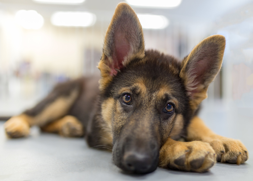 Drug Detection Dog Accidentally Overdoses On The Job, Lives To Wag The Tail